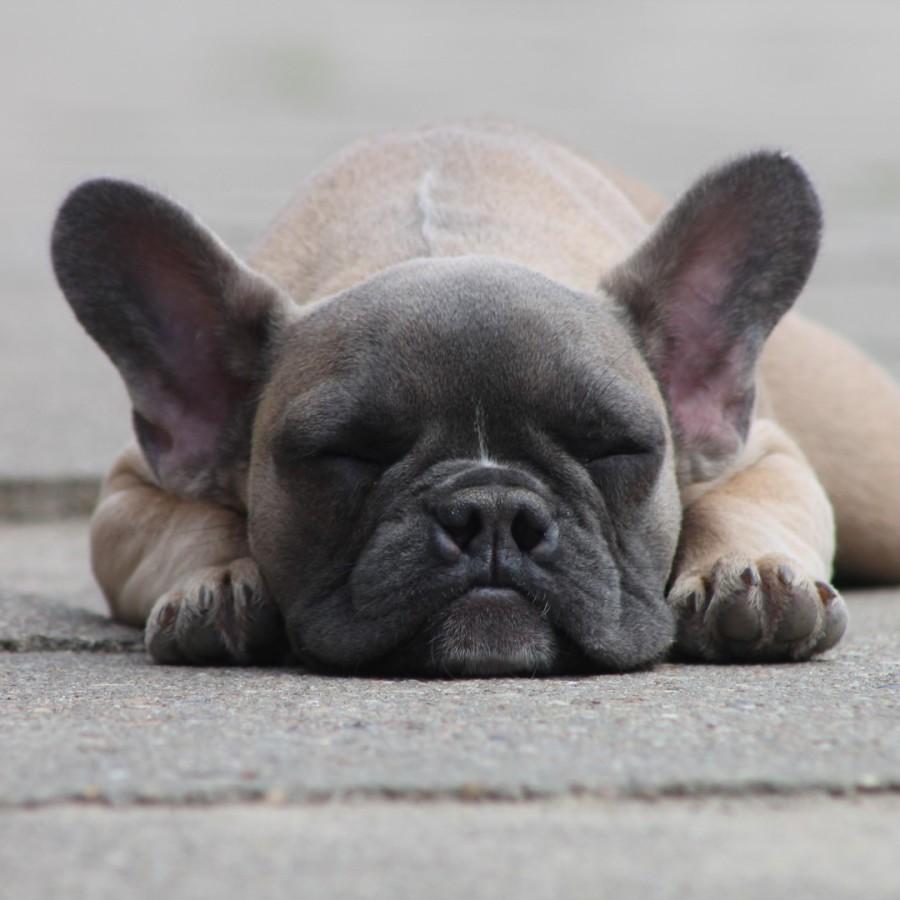 Hund liegt gemütlich auf dem Boden